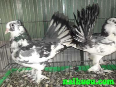 Hướng dẫn kỹ thuật nuôi bồ câu Pháp