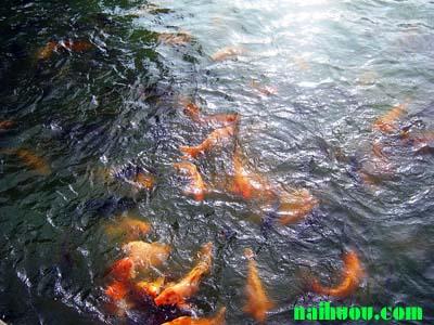 hướng dẫn kỹ thuật nuôi cá chép