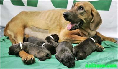 Hướng dẫn kỹ thuật nuôi chó cái giống sinh sản
