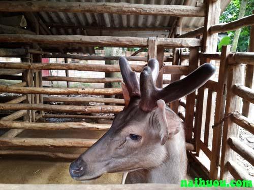 Bao tiêu sản phẩm hươu nai | Trang trại Minh Hương