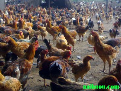 Sức sản xuất trứng (Sức đẻ trứng) của gia cầm