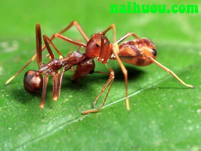 kiến vàng trừ hại sâu