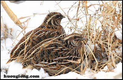 Hệ nội tiết của loài chim (chim bồ câu và chim cút)