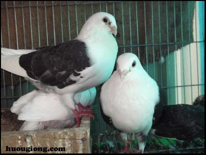 Hệ xương và hệ cơ của chim bồ câu và chim cút