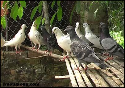 Đặc điểm da và sản phẩm của da chim bồ câu và chim cút