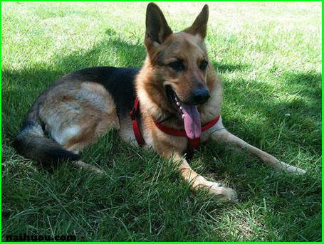 Các bệnh có thể gặp khi chó có triệu chứng thần kinh