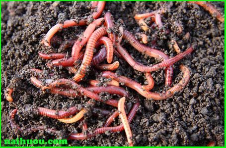 Cách thả giống và cho thức ăn vào ủ để nuôi giun