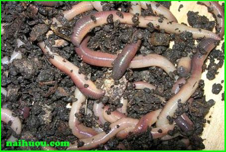 Nắm bắt những địch hại của loài giun đất