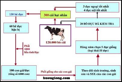 Tổ chức chọn lọc và gây tạo Trâu bò giống