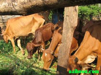 Các loại thức ăn bổ sung cho gia súc trâu bò