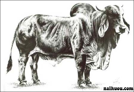 Phương pháp phối giống cho trâu bò