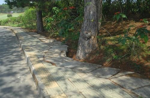 Đà Lạt uốn cong đường để bảo vệ từng cây thông
