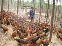 Nông dân cho gà ăn