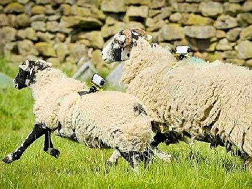 Anh sử dụng cừu làm trạm phát wifi - Lắp Mạng Wifi Viettel