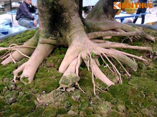 bộ gôc của cây bưởi cảnh có giá hàng trăm triệu đồng