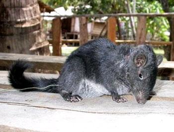 Quảng Bình: Bắt chuột đá tuyệt chủng cách đây 11 triệu năm